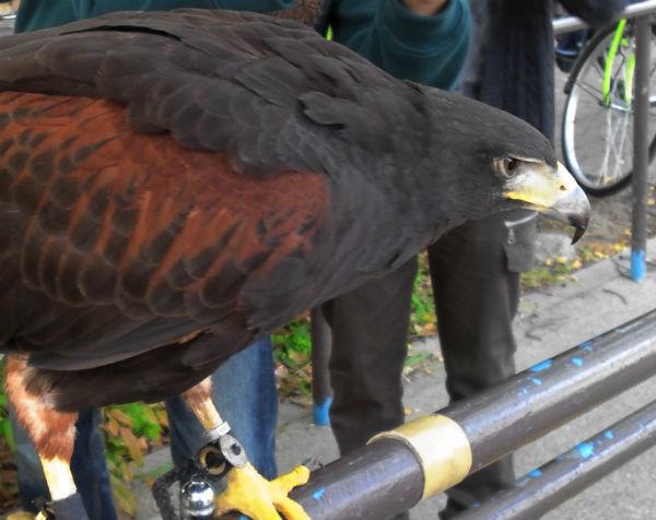 大阪城で見た猛禽類