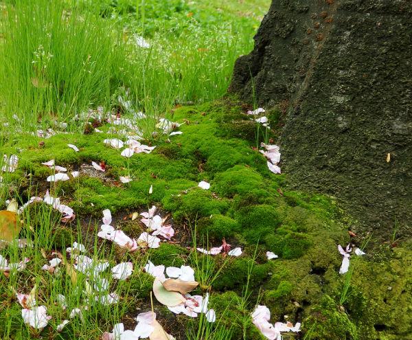 桜の幹の根元の苔