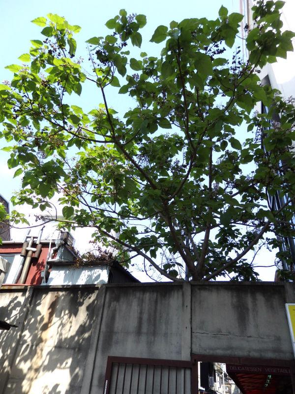 165桐の木